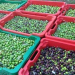 Ekstradjevičansko maslinovo ulje Bilini